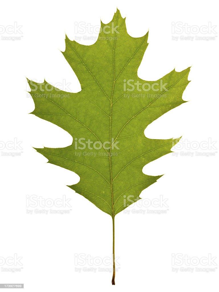 Full Oak leaf springtime royalty-free stock photo