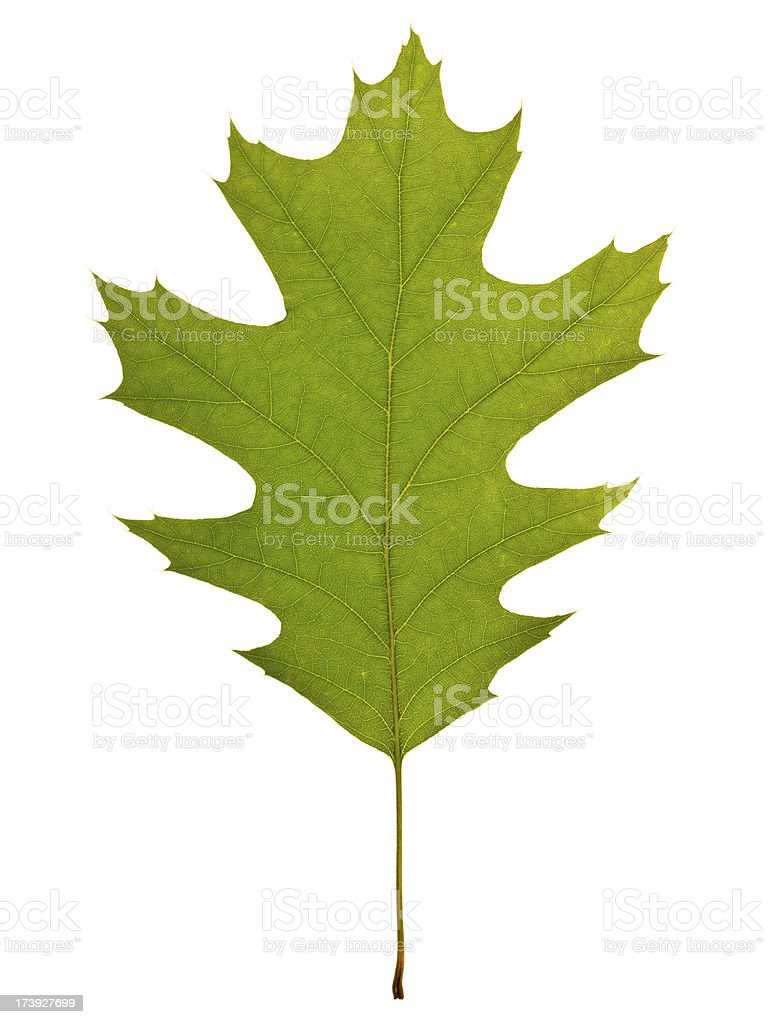 Full Oak leaf springtime stock photo