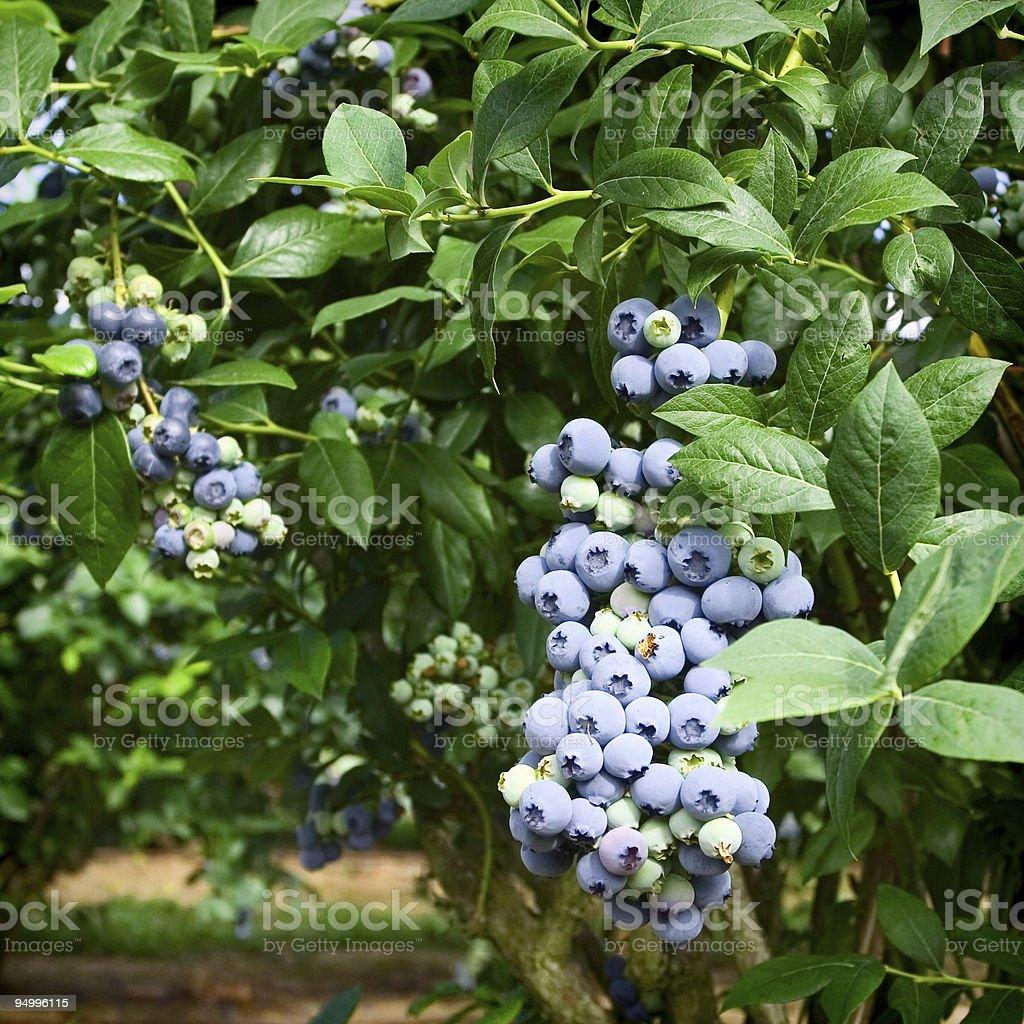 Full of Blueberries stock photo
