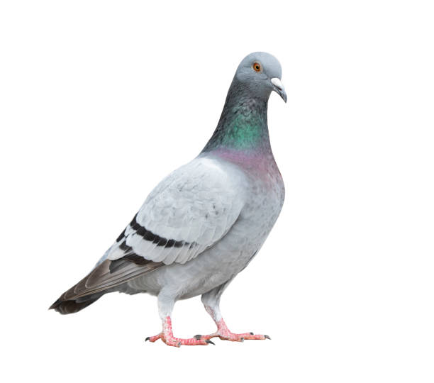 full of homing pigeon bird isolate white background full of homing pigeon bird isolate white background pigeon stock pictures, royalty-free photos & images