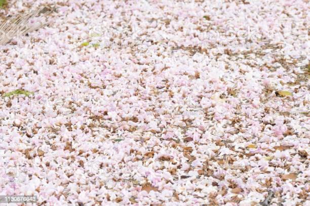 Full of pink trumpet flower chompoo pantip above the river picture id1130676643?b=1&k=6&m=1130676643&s=612x612&h=5b ohxrrpydbdodkidrmf npeh1bxizmz  pqouulym=