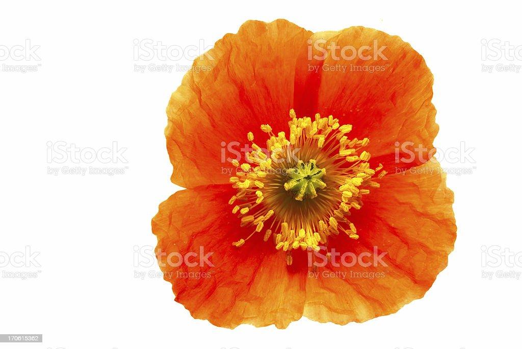 full poppy (papaver) head royalty-free stock photo