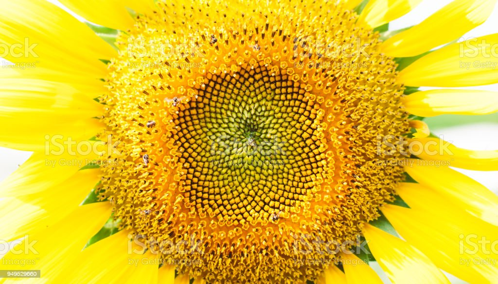 A full scale bright yellow sunflower focused and closeup at its center, seed area, with small bees around stock photo