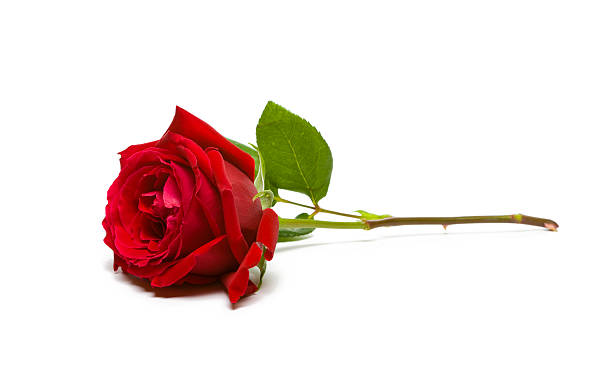 A full, single red rose on a white background Red rose on white. Focus is on the Petals, stem is slightly soft focus. plant stem stock pictures, royalty-free photos & images