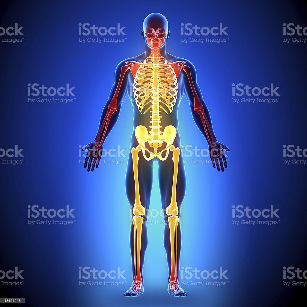 Durchgehender Knochenanatomie Knochen Stockfoto 181512484 | iStock