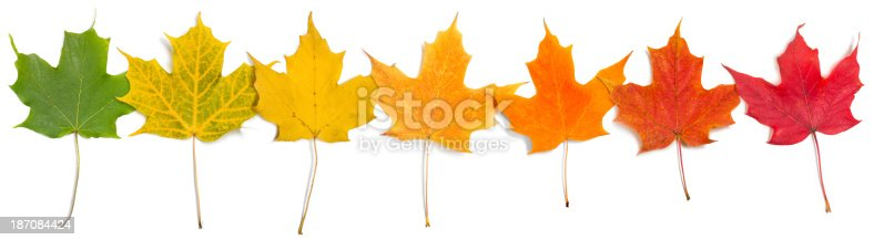 Very Large closeup image of separate bright colored fall leaves hanging colors from original green to deep red overlapping, isolated on white background.