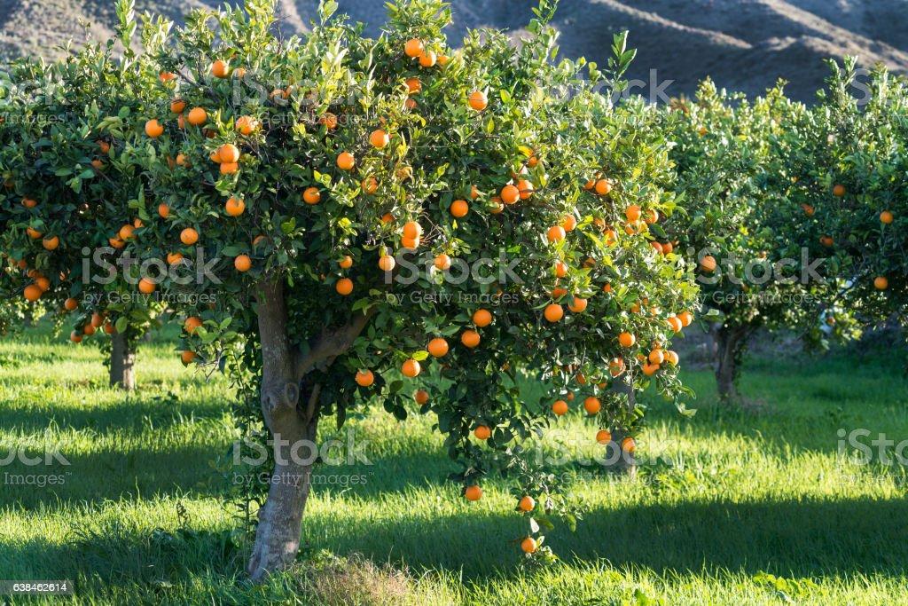 full tree of Oranges - foto stock