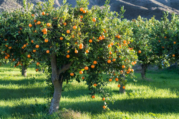 full tree of Oranges - foto stock