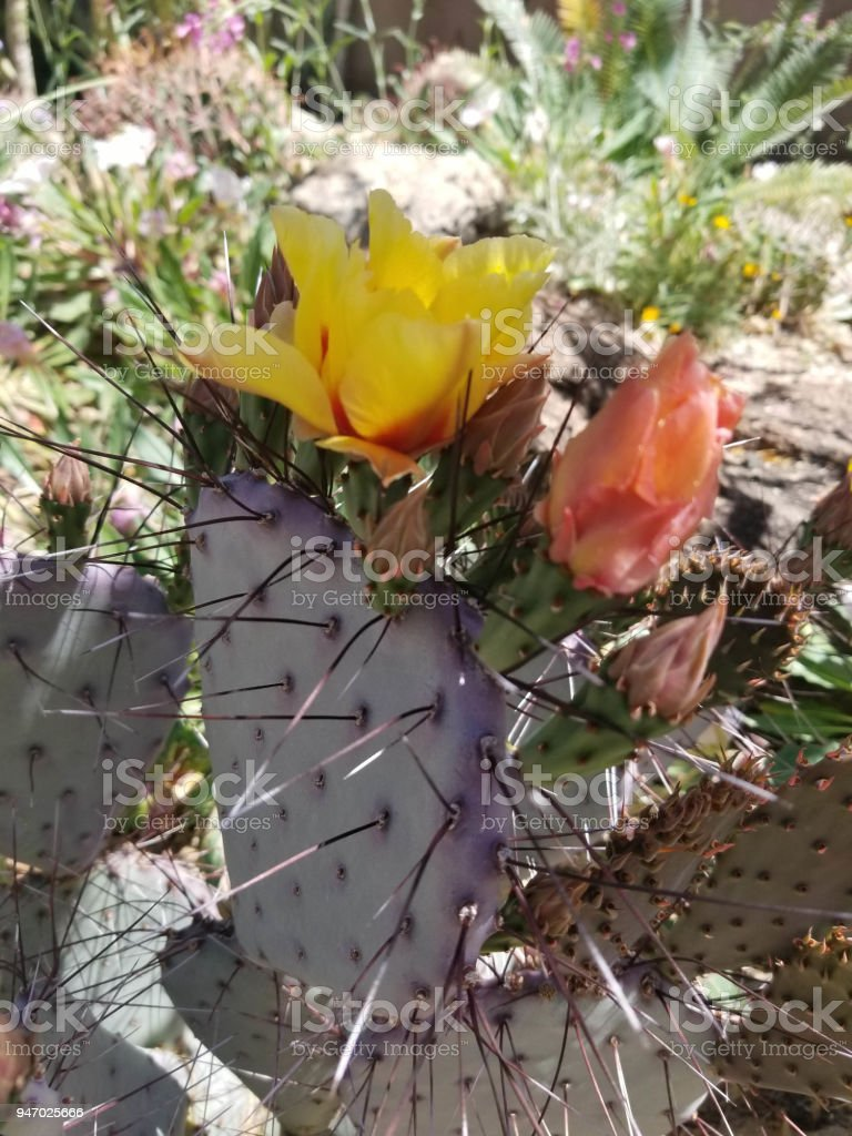 Full Yellow and Orange Prickly Pear Blossoms stock photo