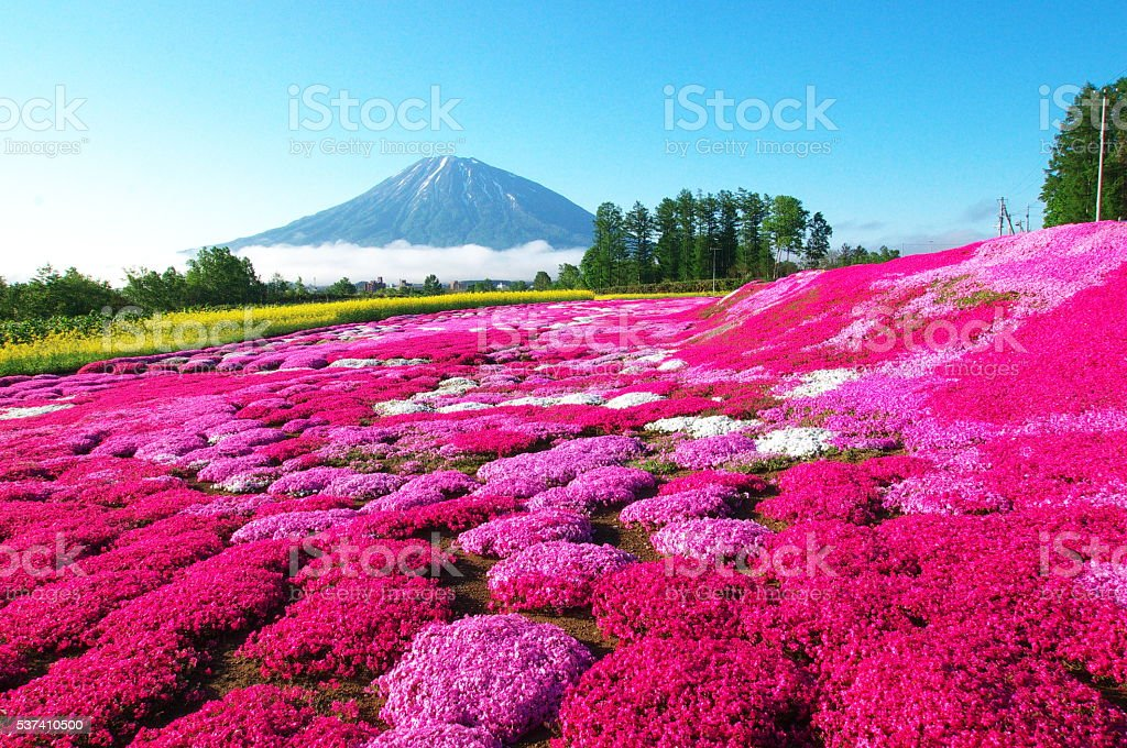 Full-blown moss pink stock photo