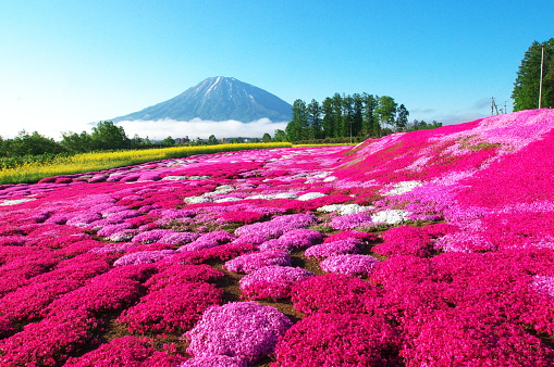 Fullblown Moss Pink Stock Photo - Download Image Now