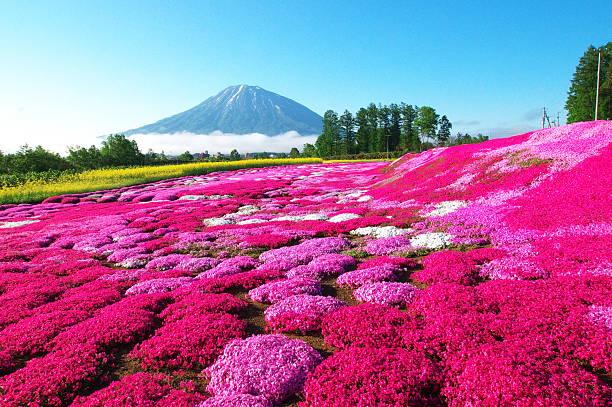 Full-blown moss pink stock photo