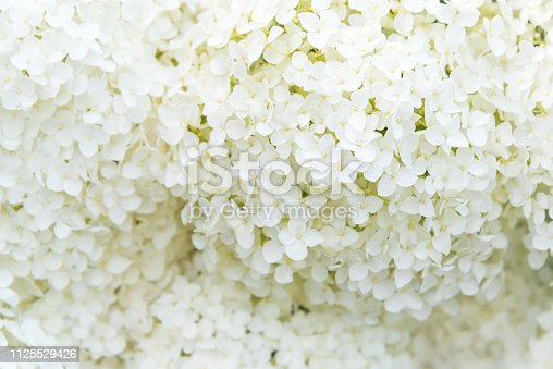 Close-up of small white hydrangea flowers