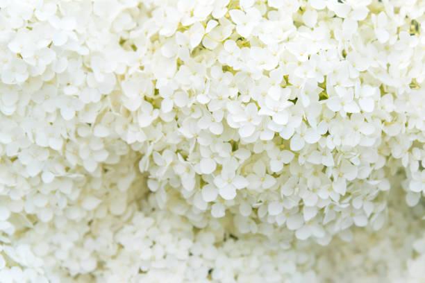 full-frame image of delicate white snowball hydrangea flowers - hortensja zdjęcia i obrazy z banku zdjęć