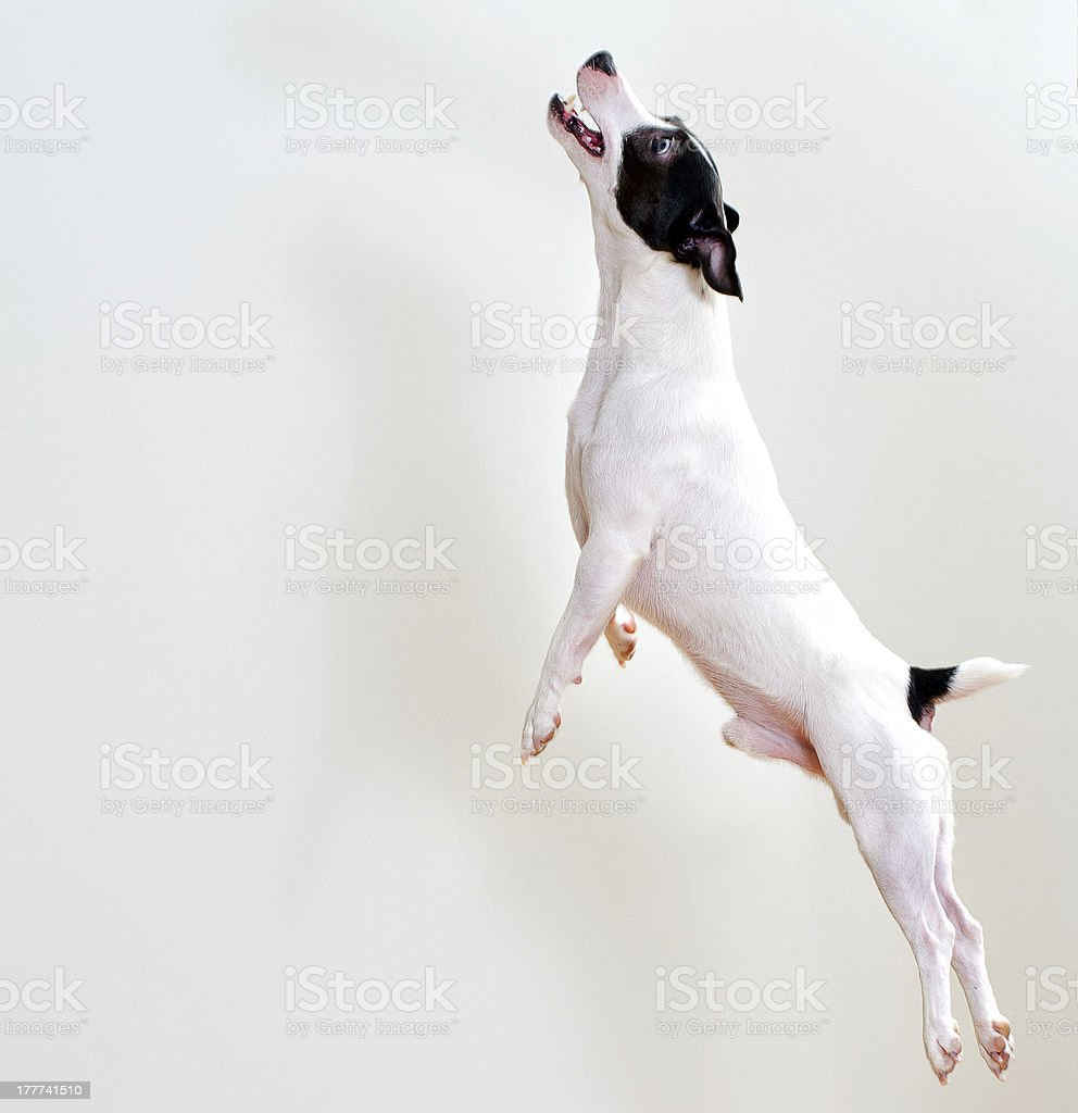 Full-length jack russell terrier in jump royalty-free stock photo