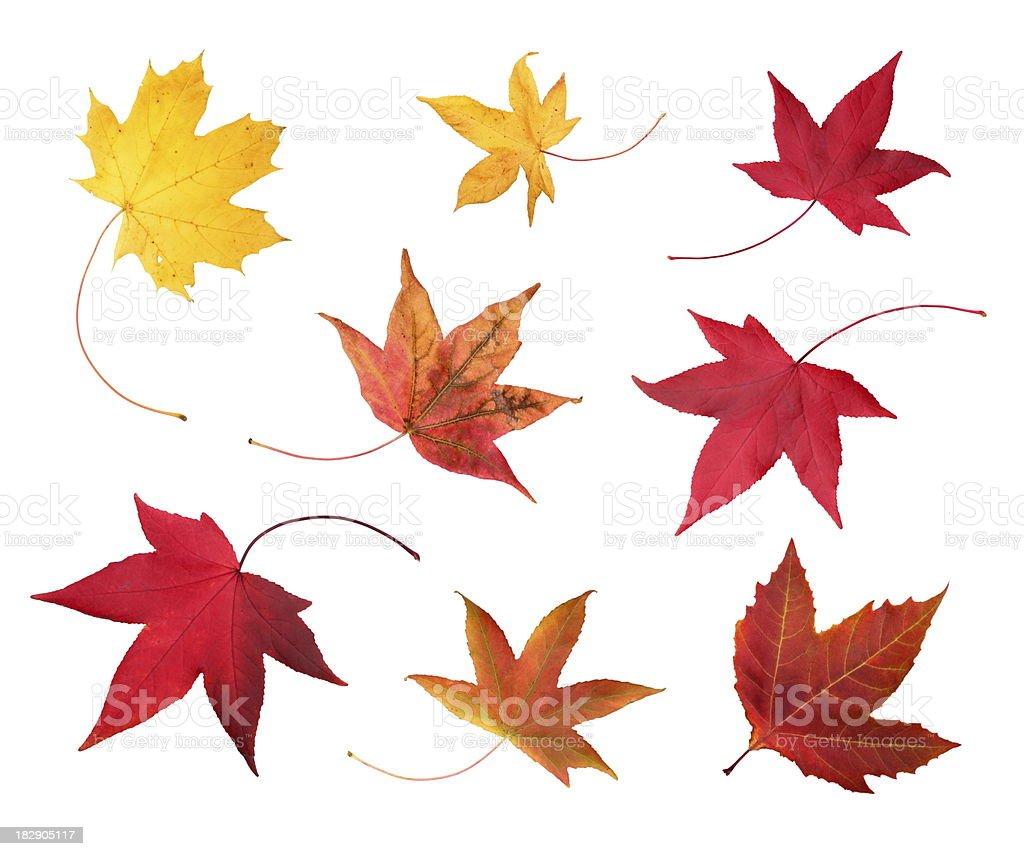 Full-size photo of maple autumn- 83Mpx. stock photo