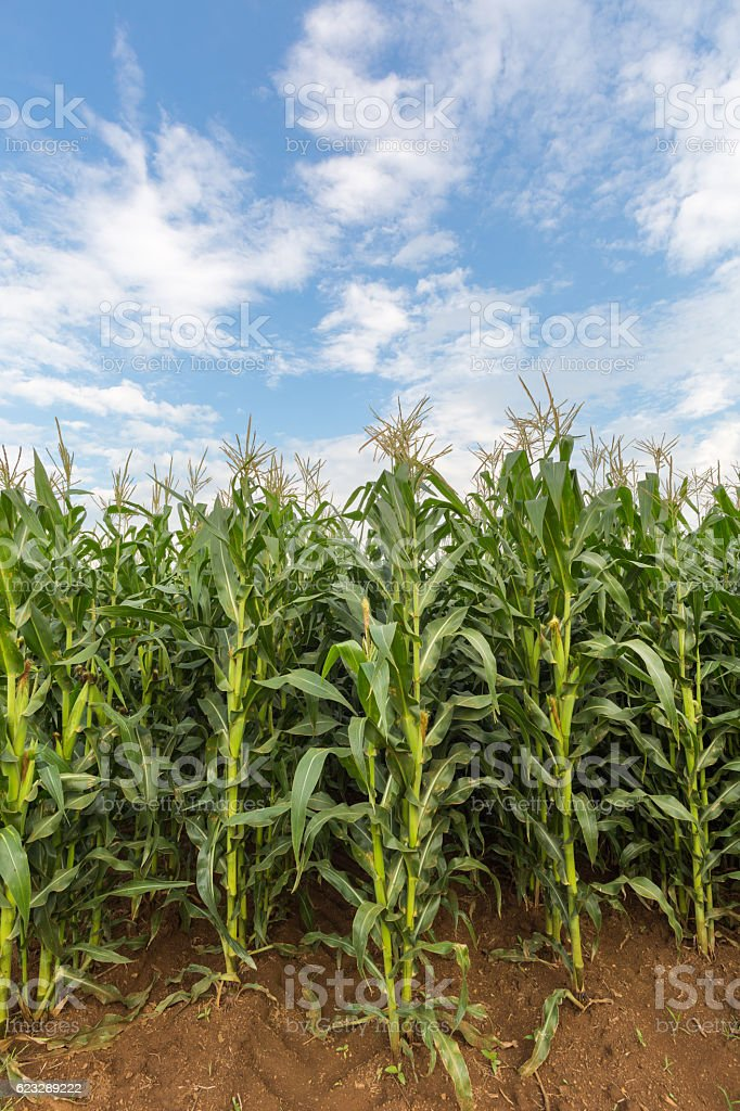 Fully grown maize stock photo
