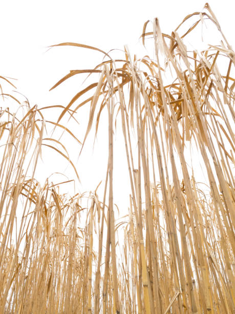 fully grown ripe miscanthus crop - miscanthus sinensis foto e immagini stock