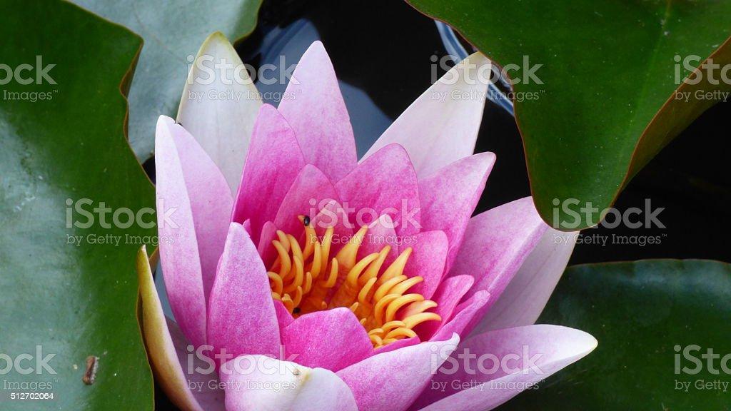 Fully open lotus flower against agreen leaves stock photo