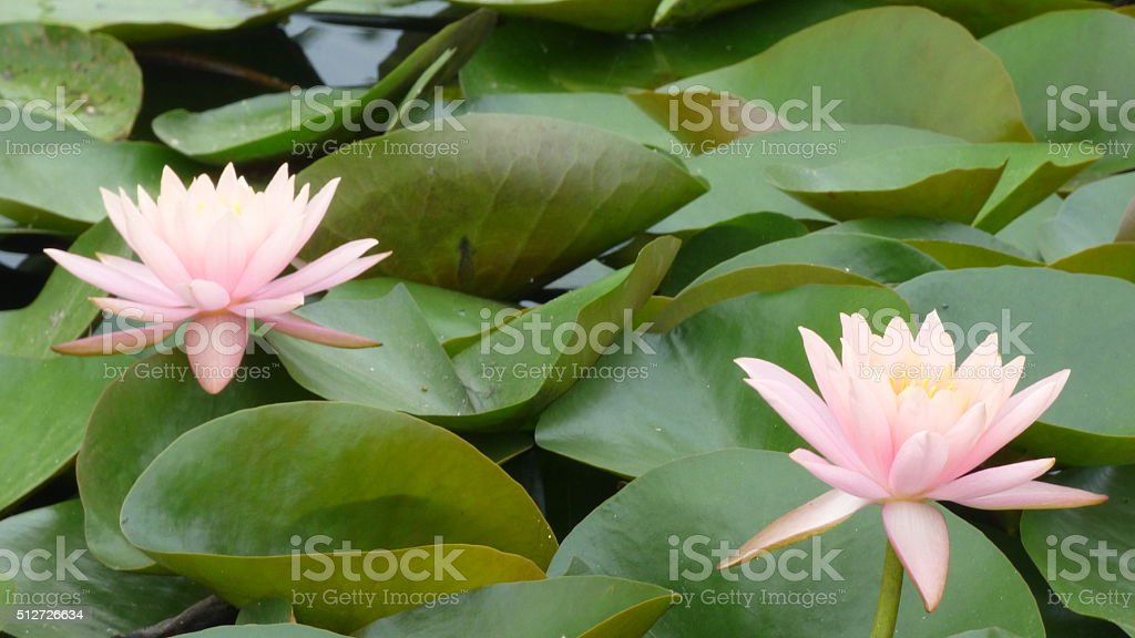 Fully open lotus flowers against agreen leaves stock photo