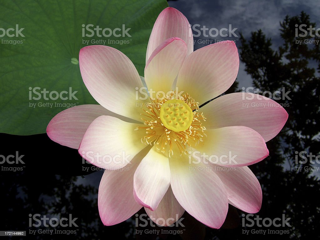 Fully open pink Lotus Flower floating in a pond royalty-free stock photo