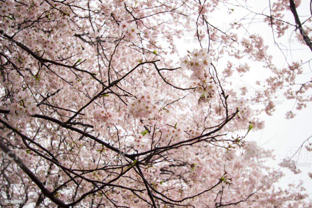 Flores de cerezo floreció plenamente en Gongendo Park en Satte, Saitama, Japón foto de stock libre de derechos