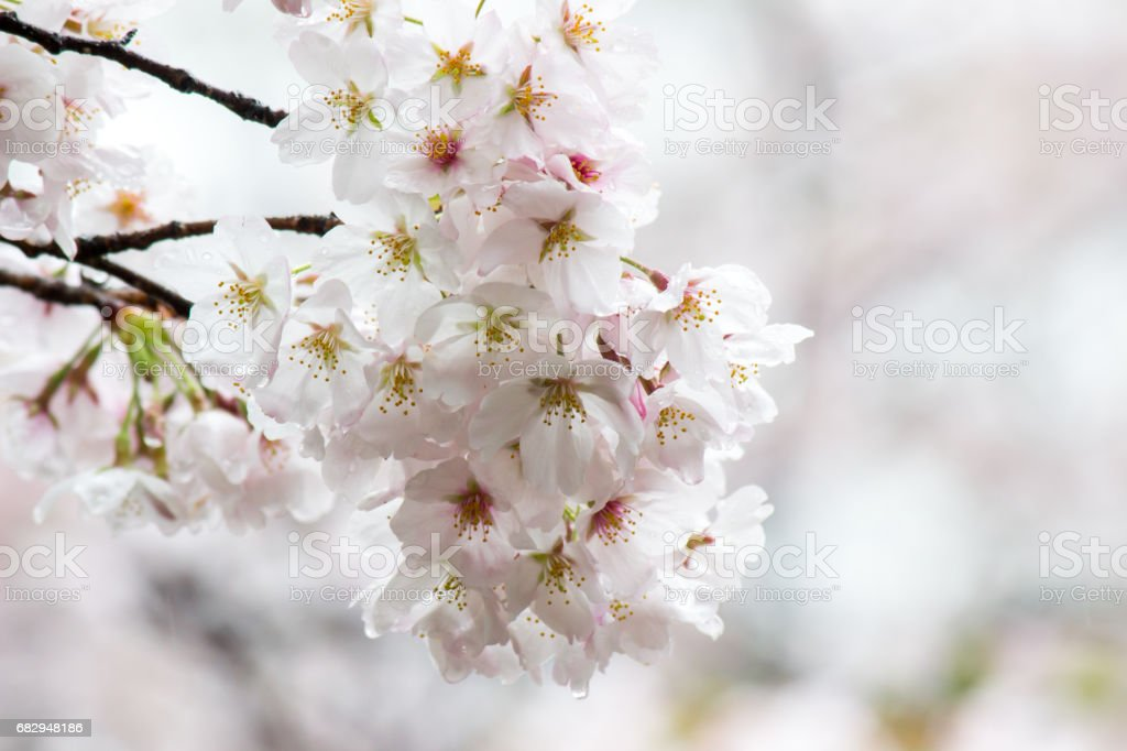 Fully-bloomed cherry blossoms at Gongendo Park in Satte,Saitama,Japan royalty-free stock photo