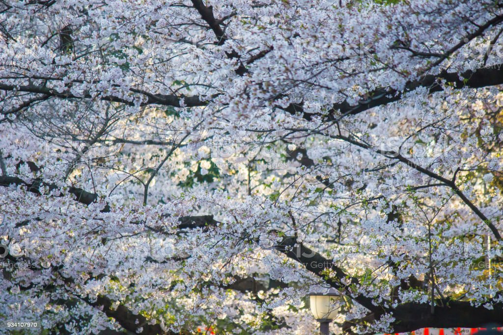 Fully-bloomed cherry blossoms at Ueno Park(Ueno Koen) in Ueno district of Taito,Tokyo,Japan.(slective focus) stock photo
