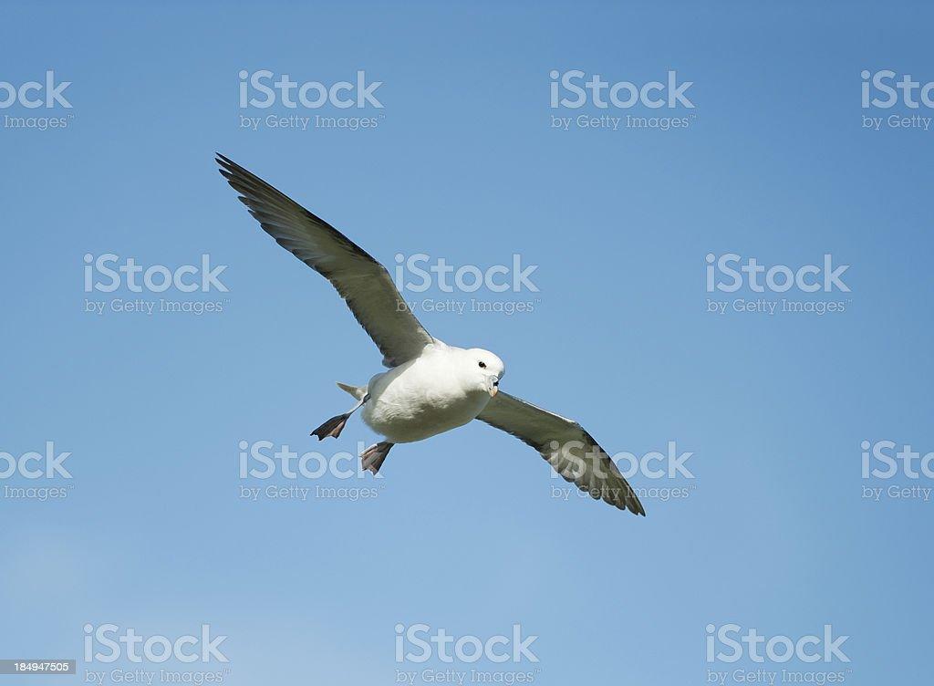 Fulmar flying  in clear blue sky stock photo