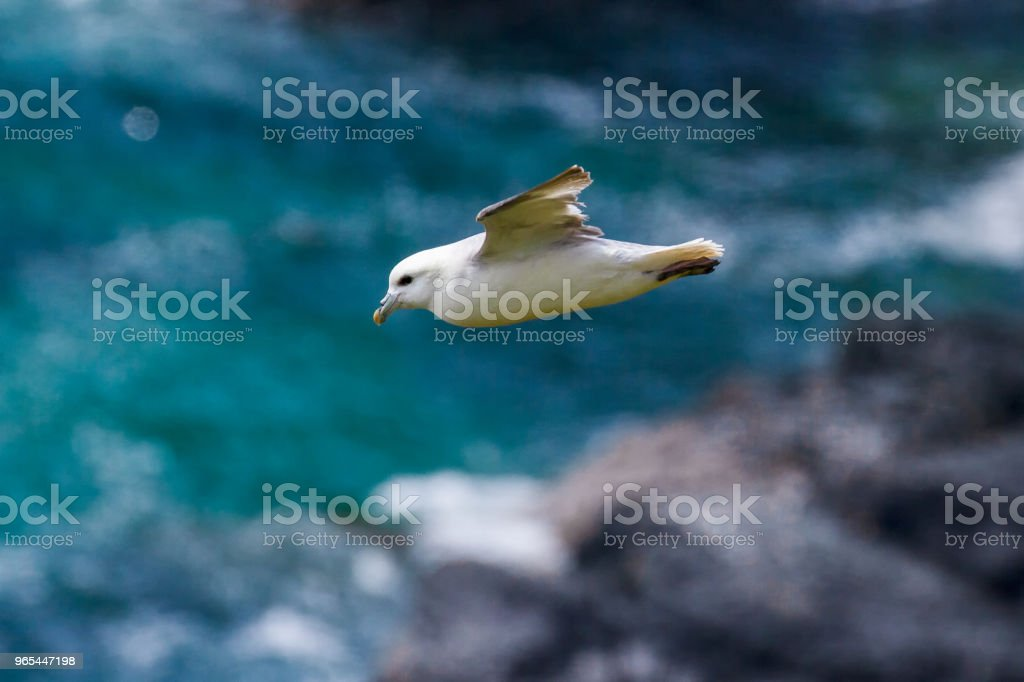 Fulmar (fulmarus glacialis) in flight along Cornish Coastline royalty-free stock photo