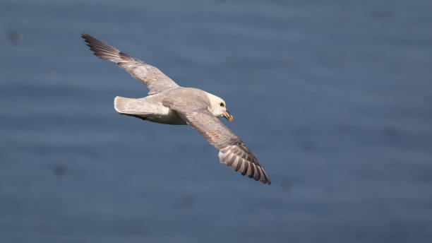 Fulmar boréal en vol au-dessus de la mer - Photo