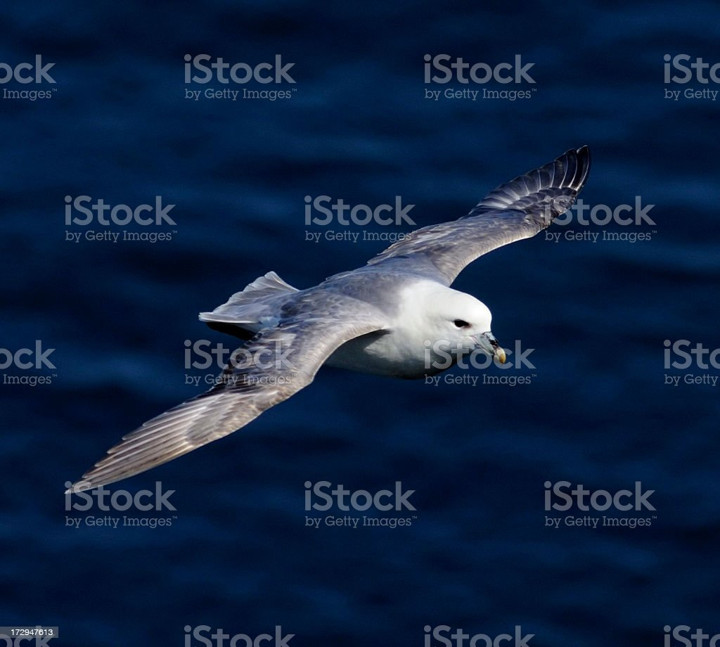 Fulmar in Flight stock photo