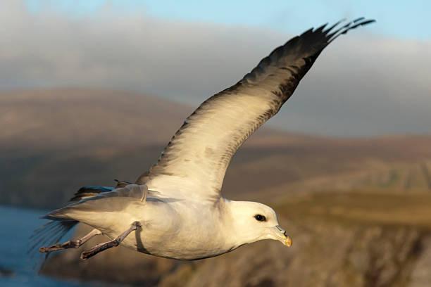 Fulmar dessus des falaises à Shetland - Photo