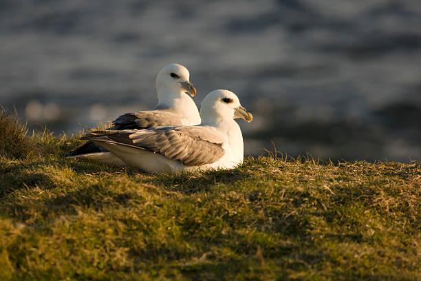 Fulmars à Shetland - Photo