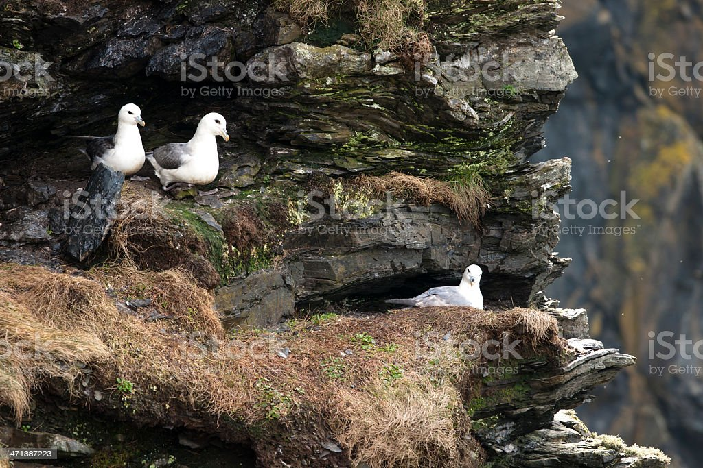 Fulmars on cliffs Shetland Islands royalty-free stock photo