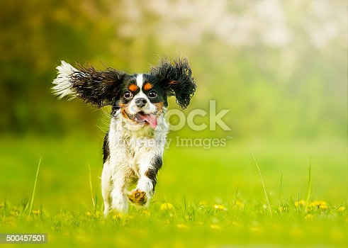 fun and beautiful cavalier king charles spaniel dog running in summer