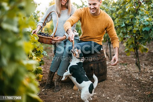 Grape harvest. Happy young couple in vineyard picking up grapes and playing with dog