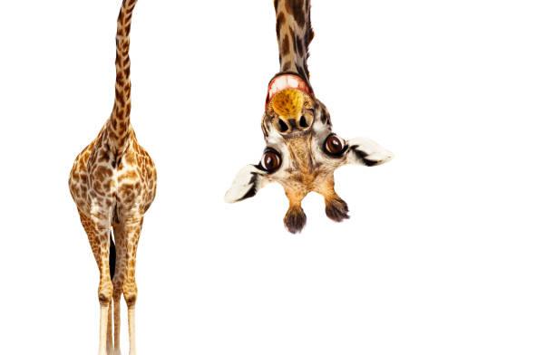 spaß niedlich auf den kopf porträt der giraffe auf weiß - digitale verbesserung stock-fotos und bilder