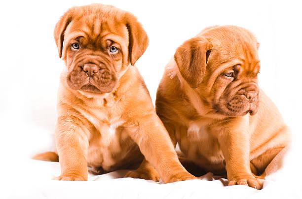 Fun little dogue de bordeaux puppy stock photo
