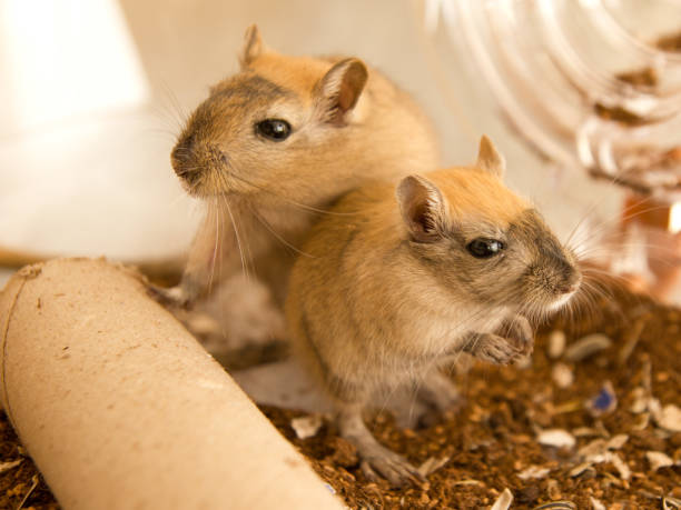 fun loving gerbils - kiss стоковые фото и изображения