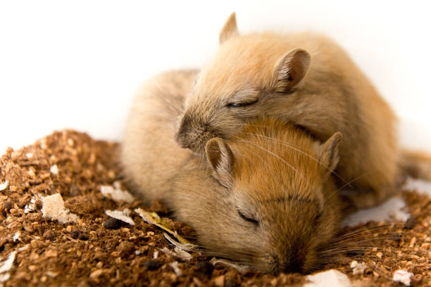Fun loving Gerbils stock photo