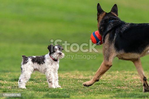 Much small Terrier dog remaining alert to presence of large German Shepard dog at grassy dog park.
