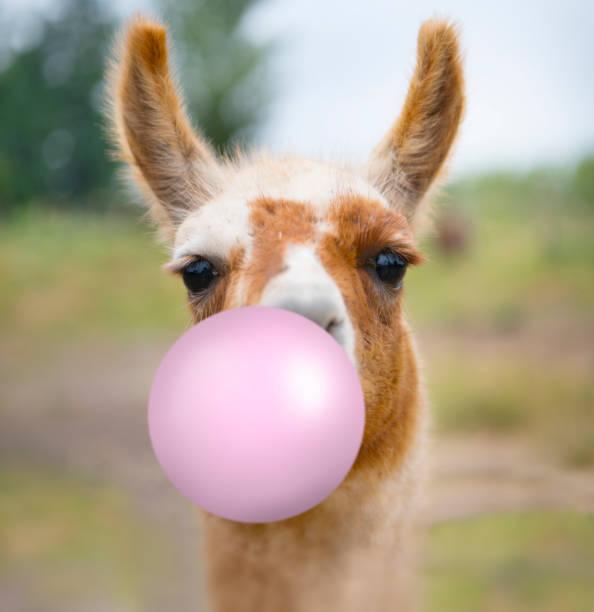Fun portrait of Alpaca Llama in Chile, blowing bubblegum stock photo