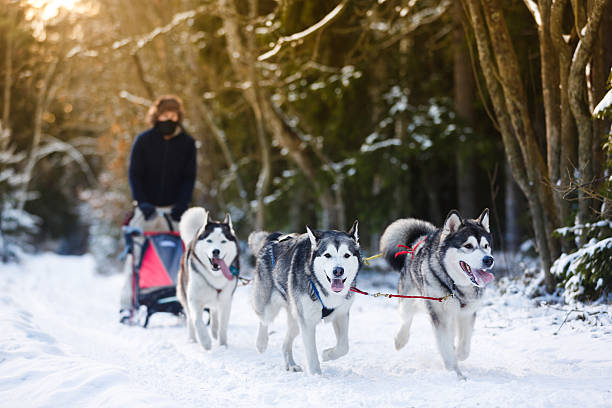 Fun run to win Winter Sled dog racing musher and husky malamute stock pictures, royalty-free photos & images