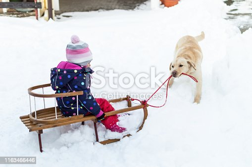 Labrador retriever is pulling little girl on a sled on a winter snowy day.