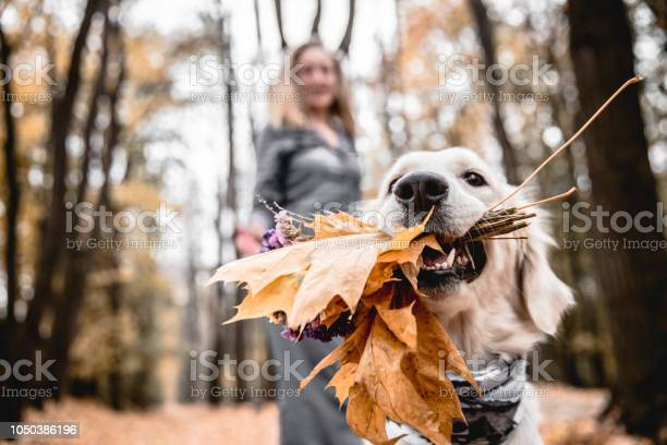 Fun walking in the autumnal park cropped image of golden retriever is picture id1050386196?b=1&k=6&m=1050386196&s=612x612&h=meljuaju7jbg8ne5kxuljzjqgn0mjj73zdsu8 ch5e4=