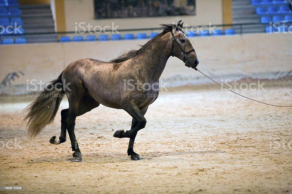 Functionality testing  horses of purebred Spanish royalty-free stock photo