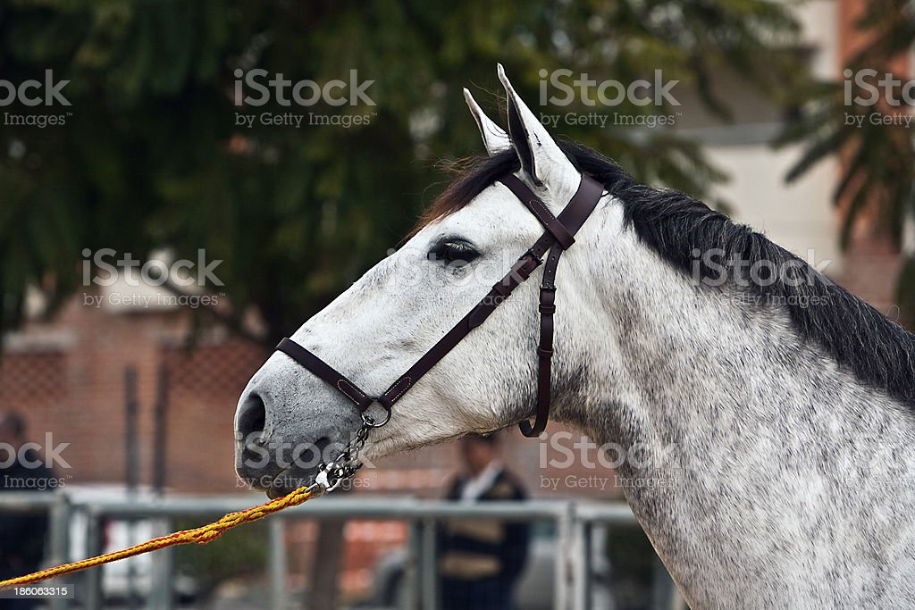 Functionality testing of horses purebred Spanish royalty-free stock photo