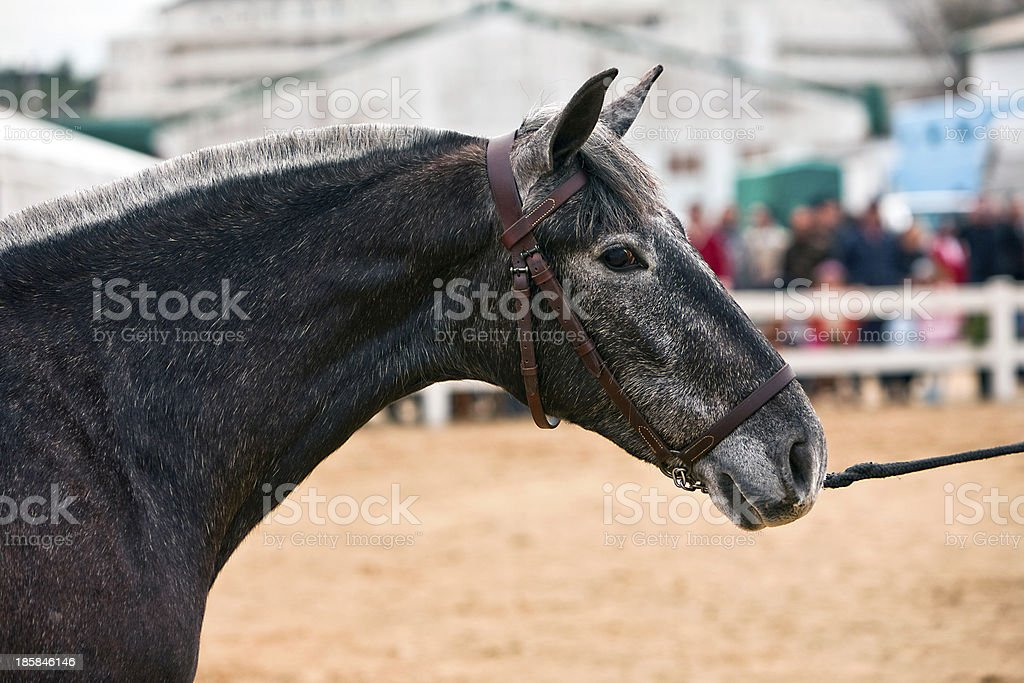 Functionality testing of horses  purebred Spanish, Spain stock photo