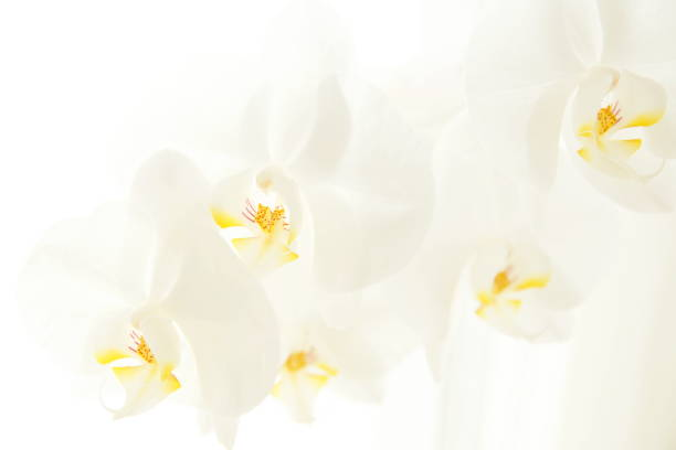 funeral flower Condolence card with white Moon orchids. Close up of white orchids on light background. Empty place for a text. Appreciation, feelings compliment, mourning frame. stock photo
